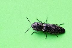 Eastern-Eyed Click Beetle On A Green Background. Royalty Free Stock Image