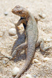 Eastern Fence Lizard. Crawling in sand Royalty Free Stock Photos