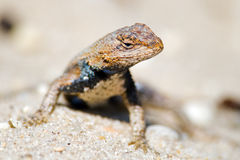 Eastern Fence Lizard Stock Photography