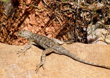 Eastern Fence Lizard Royalty Free Stock Images