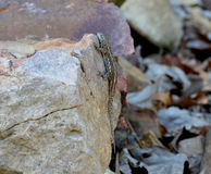 Eastern Fence Lizard Clinging On Rock Stock Photos