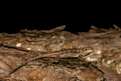 Eastern Fence Lizard Royalty Free Stock Image