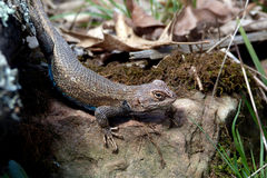 Eastern Fence Lizard Stock Image