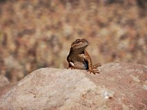Eastern fence lizard keeps fierce watch over the rim of a stone Royalty Free Stock Image