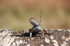 Eastern Fence Lizard stock photography