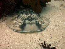 Eastern Fiddler Ray Royalty Free Stock Images