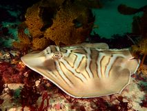 Eastern Fiddler Ray Stock Images