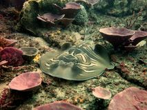 Eastern Fiddler Ray. (Trygonorrhina fasciata) resting between the sponges Stock Photo