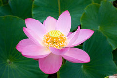 The Eastern flower Lotus will open Royalty Free Stock Images