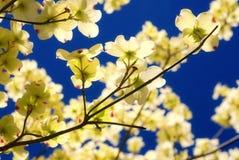 Eastern Flowering Dogwood. Tree -- Cornus Florida stock images