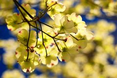 Eastern Flowering Dogwood Royalty Free Stock Image