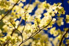 Eastern Flowering Dogwood Stock Image