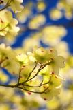 Eastern Flowering Dogwood. Tree -- Cornus Florida stock photos