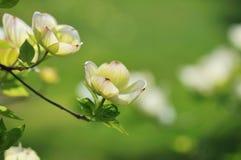 Eastern Flowering Dogwood - Cornus florida Stock Photos