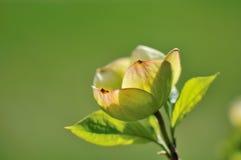 Eastern Flowering Dogwood - Cornus florida Royalty Free Stock Image