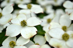 Eastern flowering dogwood. Stock Images