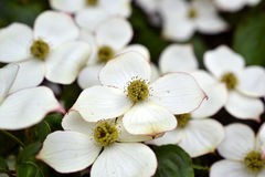 Eastern flowering dogwood. Royalty Free Stock Image