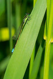 Eastern Forktail Stock Photography