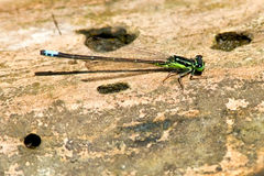 Eastern Forktail Damselfly Royalty Free Stock Images