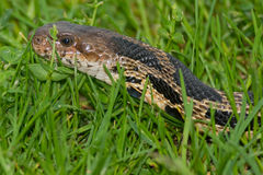 Eastern Fox Snake Stock Photography