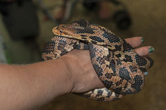 Eastern fox snake (Pantherophis gloydi) Stock Images