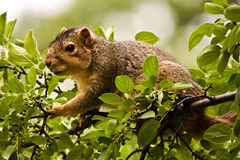 Eastern Fox Squirrel Stock Images
