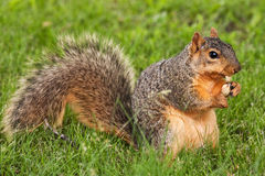 Eastern Fox Squirrel Royalty Free Stock Images