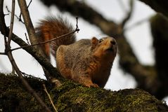 Eastern Fox Squirrel. In a tree Stock Images
