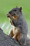 Eastern Fox Squirrel Royalty Free Stock Photo