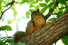 Eastern Fox Squirrel Stock Photos