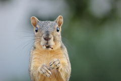 Eastern Fox Squirrel Eating. Close-up of an Eastern Fox squirrel on fence eating Stock Photos