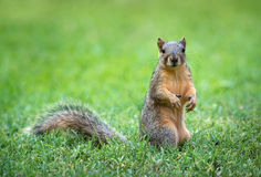 Eastern Fox squirrel (Sciurus niger) in garden Stock Photo
