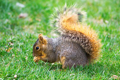 Eastern Fox Squirrel (Sciurus niger) Royalty Free Stock Photos