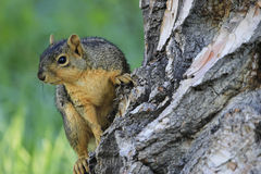 Eastern fox squirrel Stock Photography