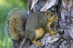 Eastern fox squirrel Royalty Free Stock Photo