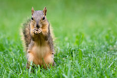 Eastern Fox squirrel (Sciurus niger) Stock Photography