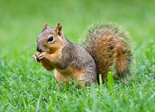 Eastern Fox squirrel (Sciurus niger) Stock Photos