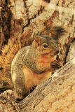 Eastern Fox Squirrel sitting on a tree Royalty Free Stock Image