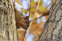 Eastern Fox Squirrel sitting on a tree Royalty Free Stock Photos