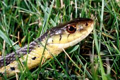 Eastern Garter Snake. In the grass Royalty Free Stock Photography