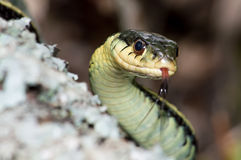 Eastern Garter Snake Royalty Free Stock Photo