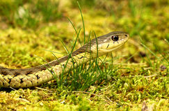 Eastern Garter Snake Stock Photo