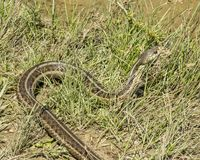 Eastern Garter Snake. In a rural area Stock Image