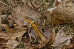 Eastern Garter Snake Stock Image