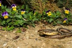 Eastern Garter Snake (Thamnophis sauritus) Royalty Free Stock Image
