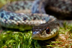 Eastern Garter Snake (Thamnophis sauritus) Stock Photography