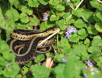 Eastern Garter Snake Stock Images