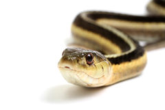 Eastern Gartersnake Royalty Free Stock Photography
