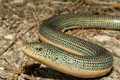 Eastern Glass Lizard. A close up of an Eastern Glass Lizard Royalty Free Stock Photo