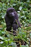 Eastern gorilla in the beauty of african jungle Stock Image